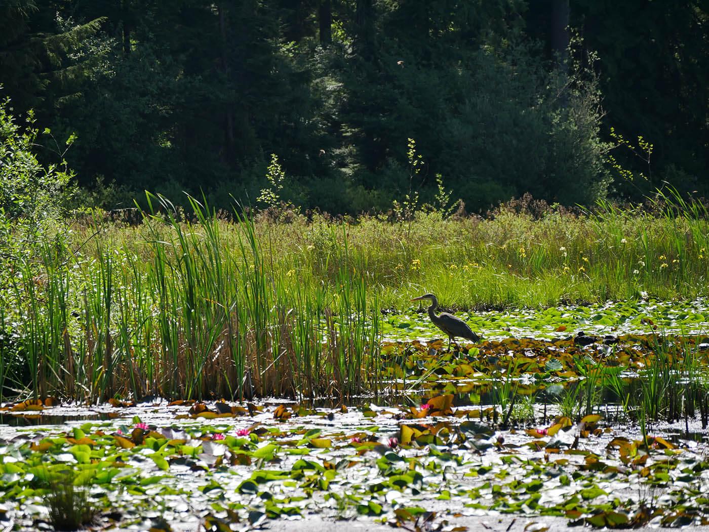 Heron sur Lac Beaver au Stanley Park