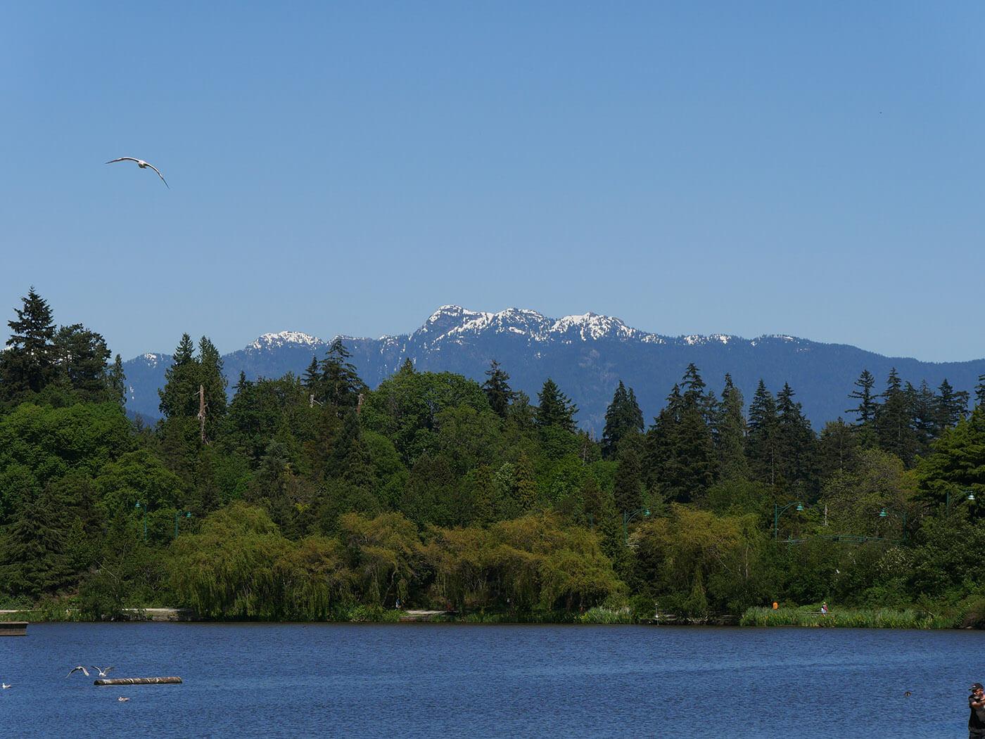 Photo de mouette en vol pris dans le Stanley Park de Vancouver