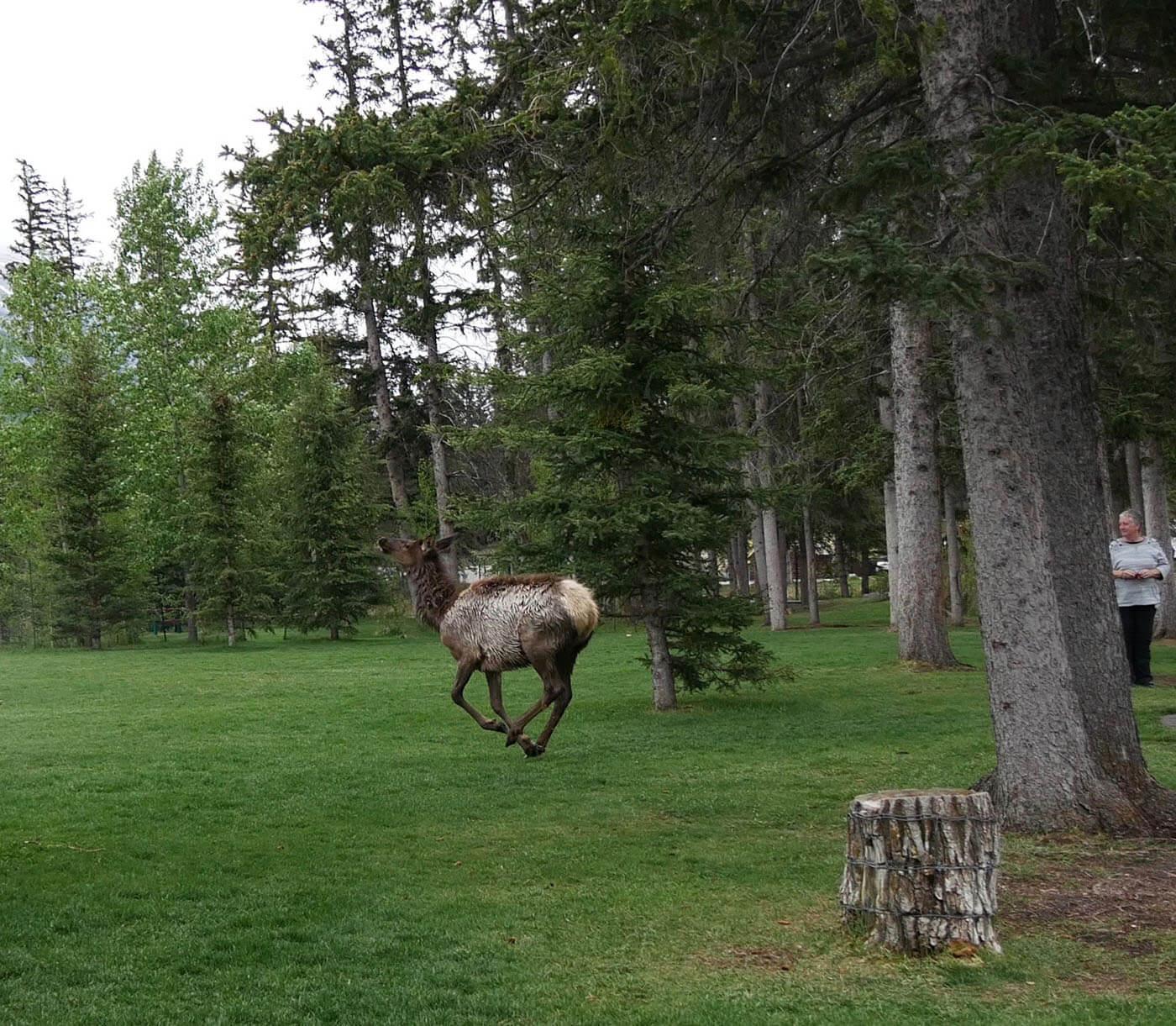 Test du mode 4K Photo avec un élan qui court dans une forêt de Banff au Canada