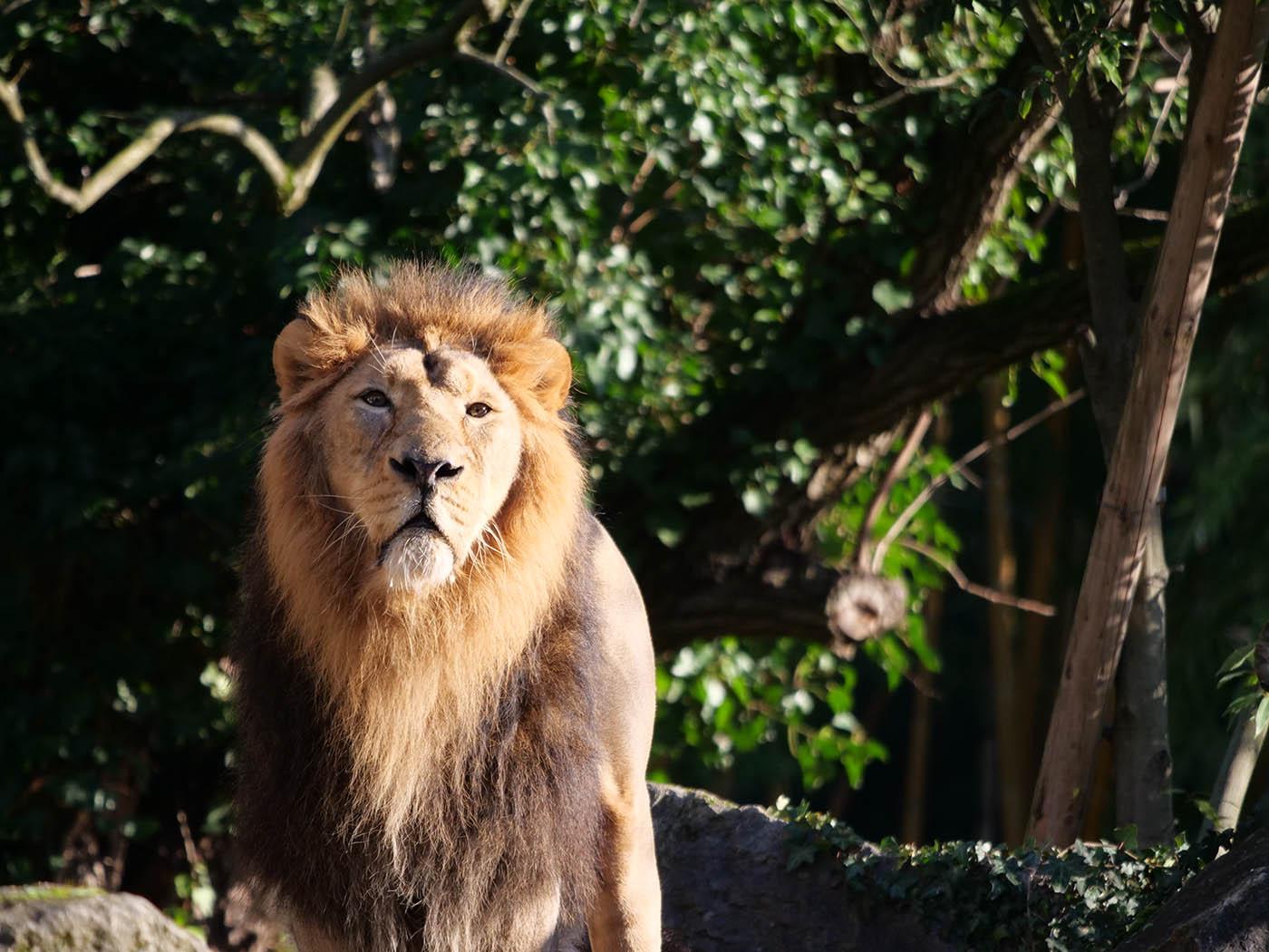 Photo de Lion au Parc de la Tête d'Or