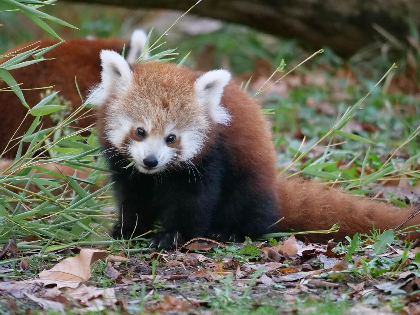 photo de bébé Panda Roux du Parc de la Tête d'Or