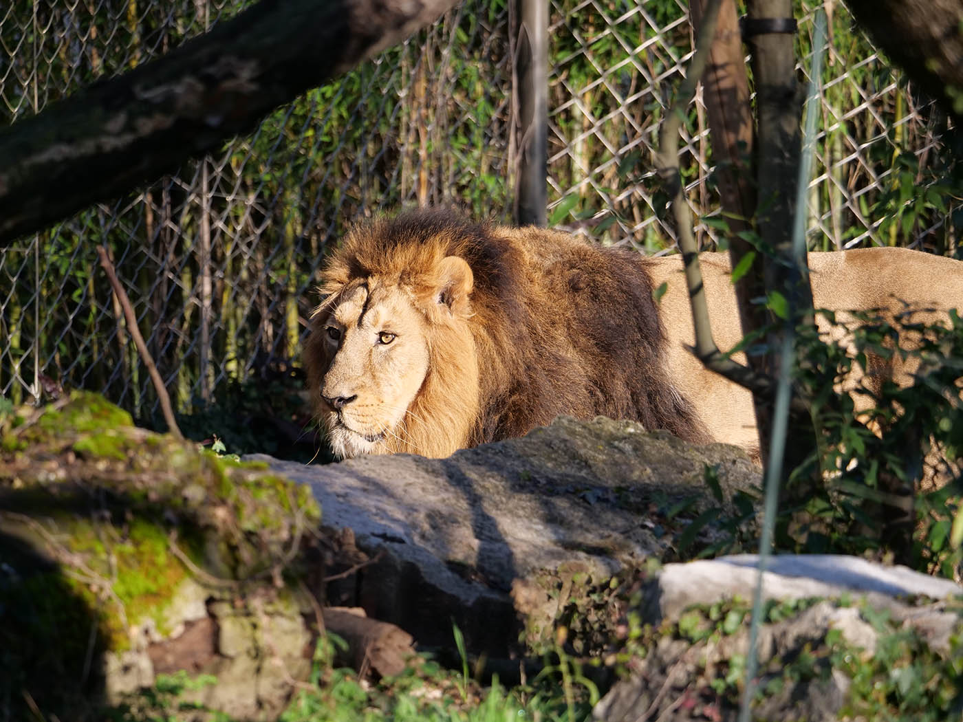 photo animalière d'un lion pris au Zoo du Parc de la Tête d'Or