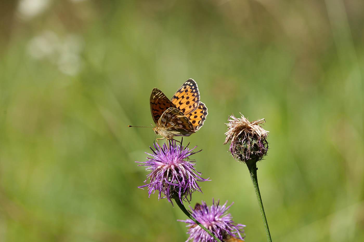 test macro papillon sur fleur avec hybride plein format Panasonic