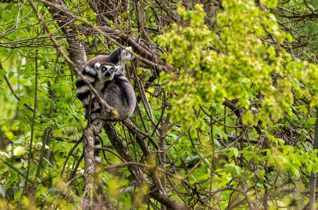 photo animalière de lémuriens